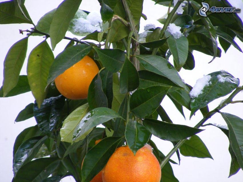 naranjas, hojas