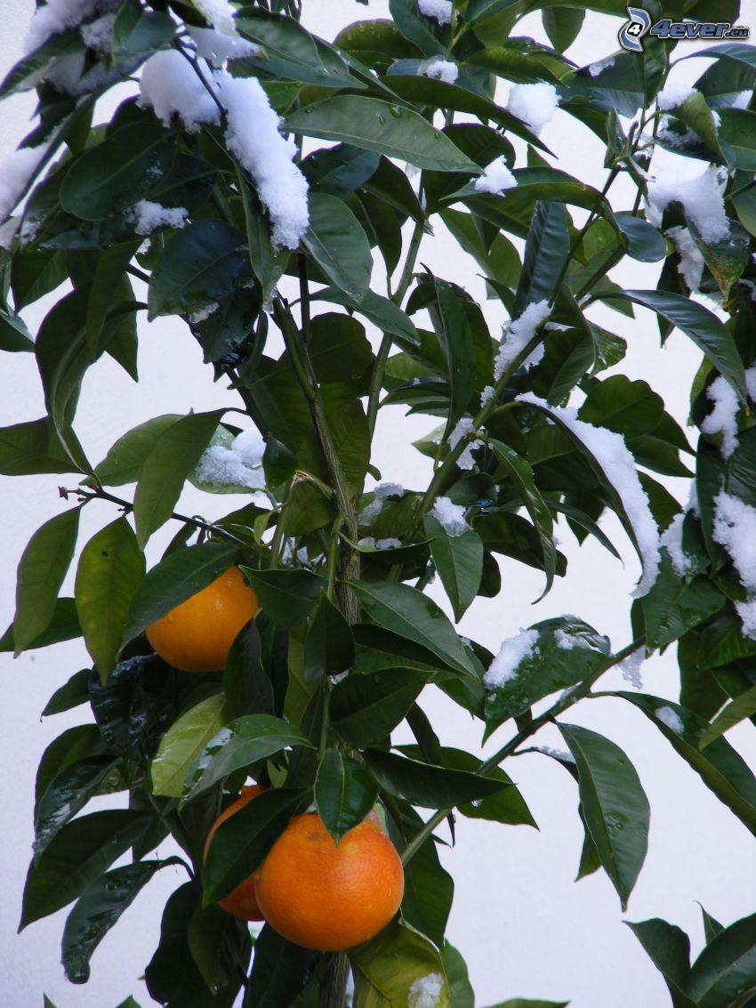 naranjas, ramas, hojas verdes, nieve