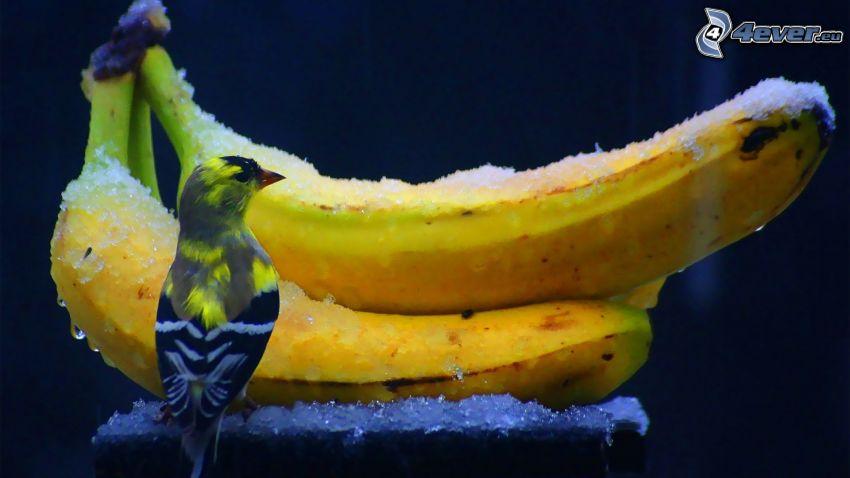 plátanos, pájaro