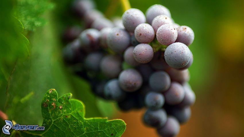 racimo de uvas, hojas de parra