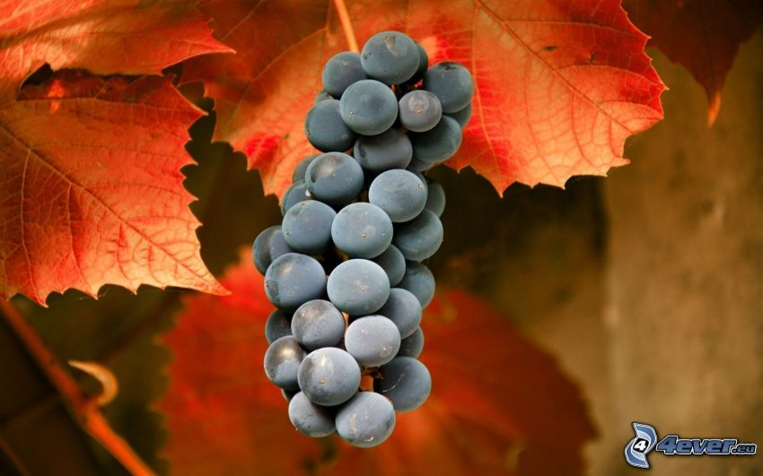 racimo de uvas, hojas rojas