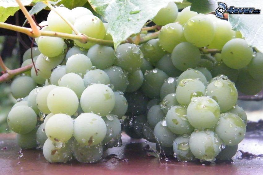 racimo de uvas, rocío, gotas