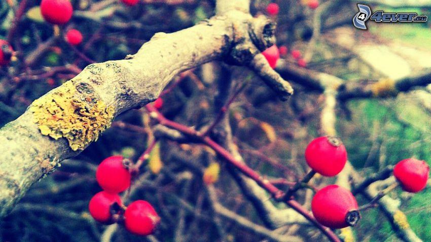 rosal silvestre, ramas
