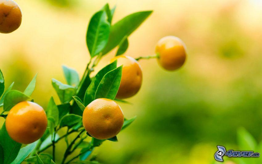 tangerinas, arbusto, hojas verdes