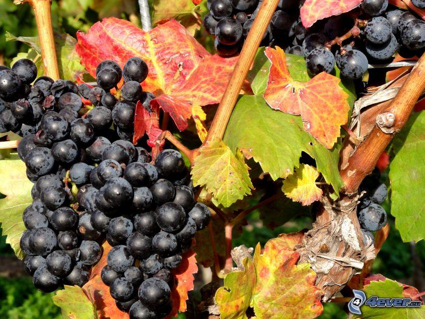 uvas, hojas de parra