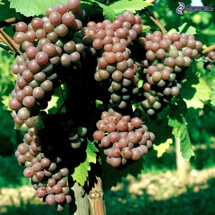 uvas, viña