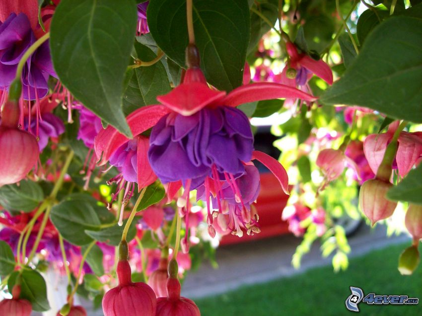 Fuchsia, flores de color rosa, flores de coolor violeta