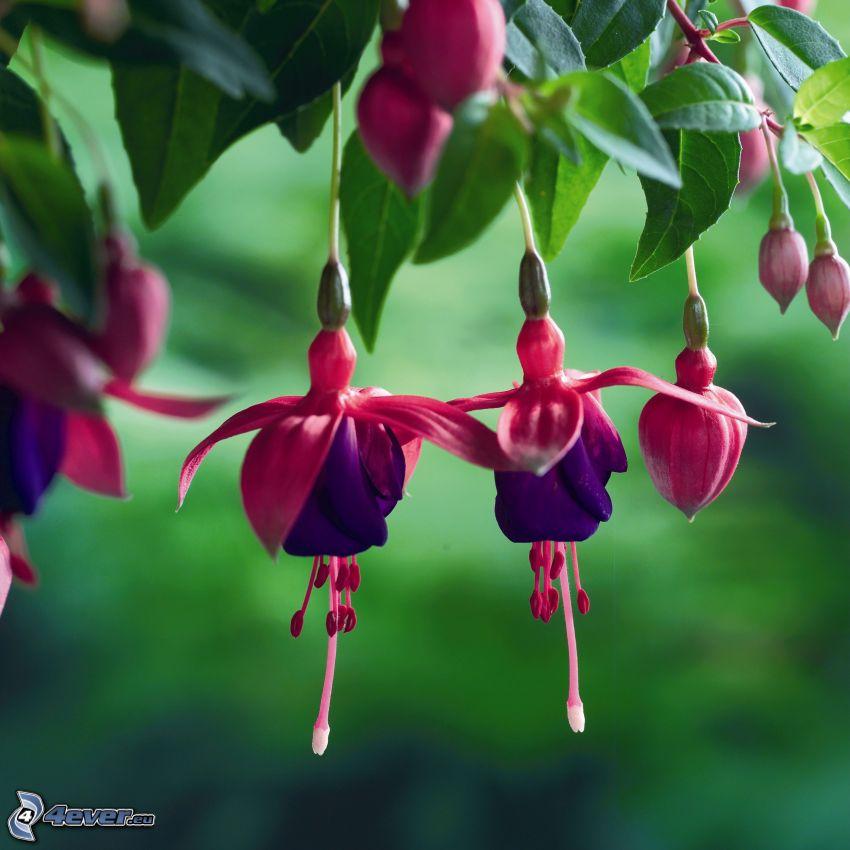 Fuchsia, flores de coolor violeta, hojas verdes