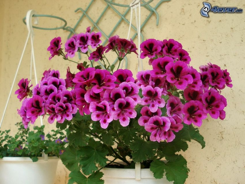 geranium, flor púrpura