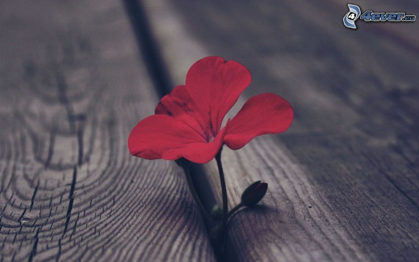 geranium, flor roja, madera