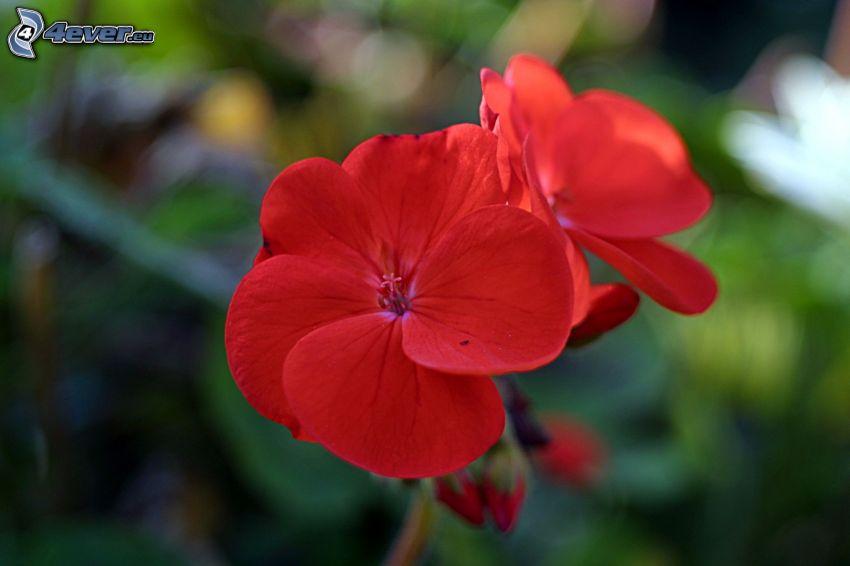 geranium, flor roja