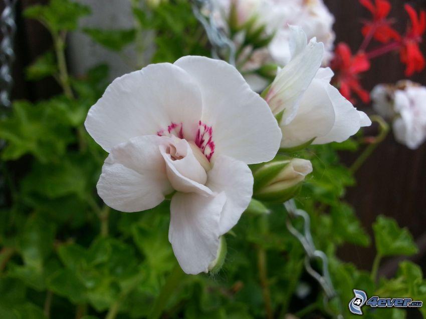 geranium, flores blancas