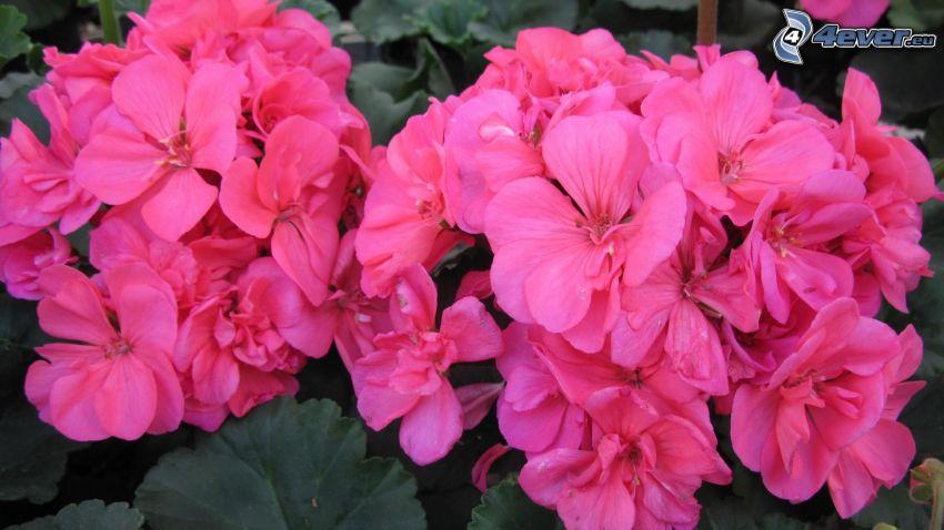 geranium, flores de color rosa