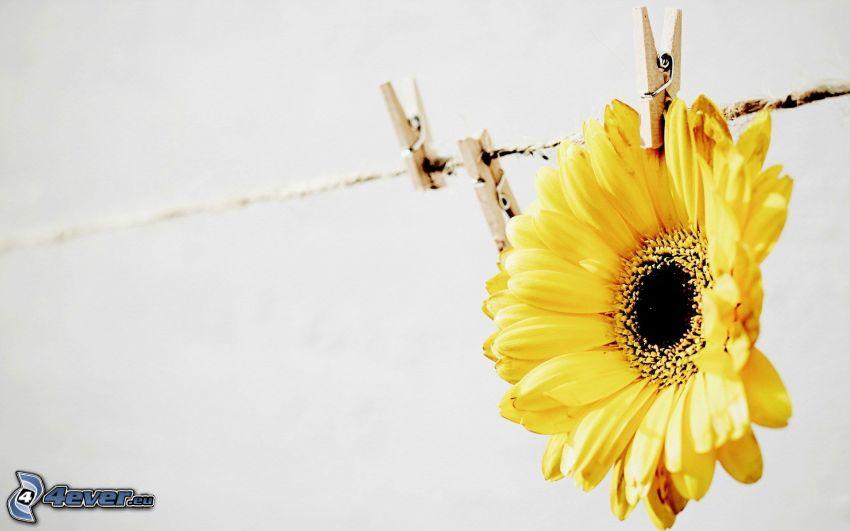 gerbera, flor amarilla, clavijas en una cuerda