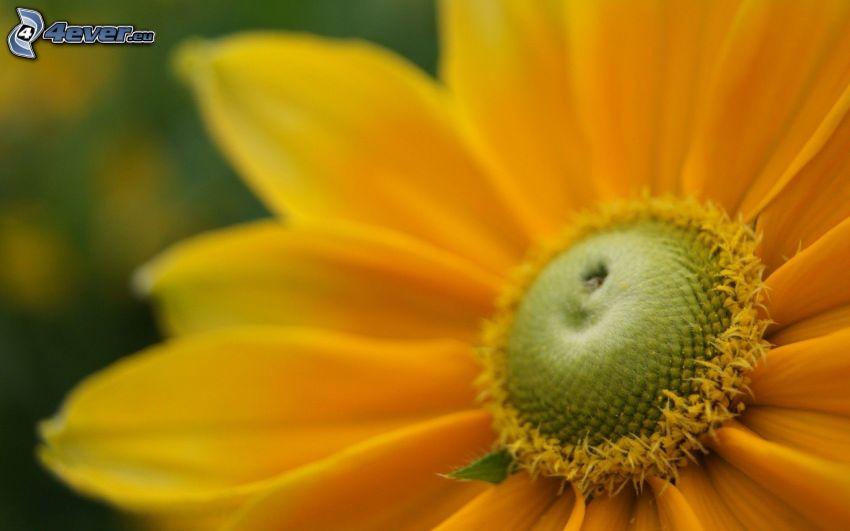 gerbera, flor amarilla