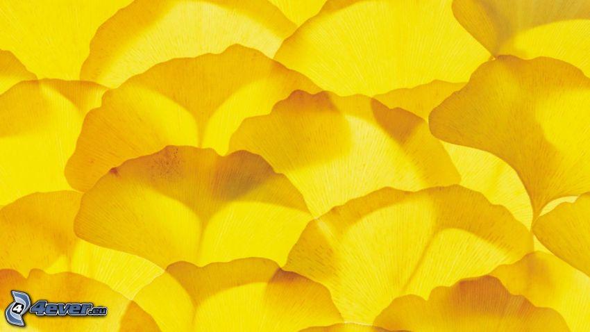 ginkgo, hojas amarillas