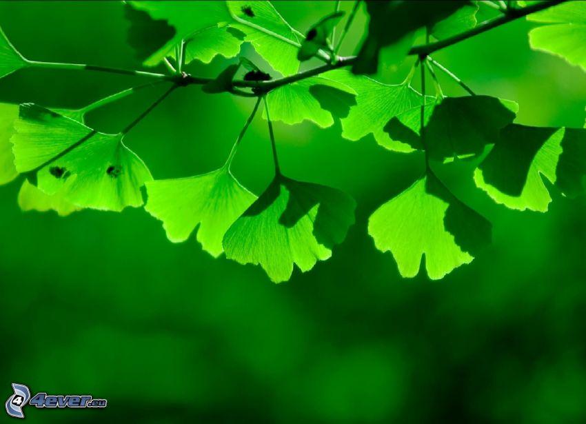 ginkgo, hojas verdes, ramita
