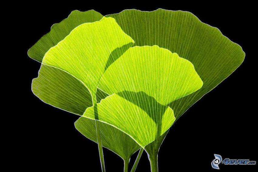 ginkgo, hojas verdes