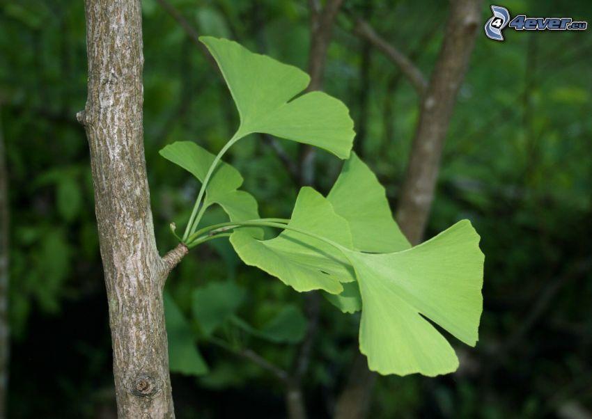 ginkgo, rama, hojas verdes