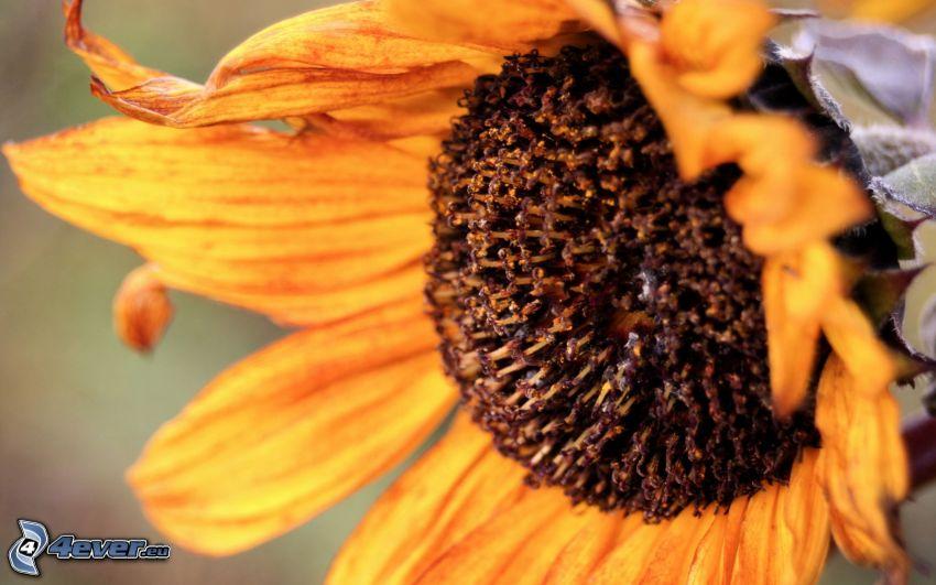 girasol, flor seca