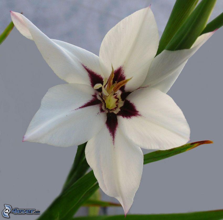 gladiolo, flor blanca