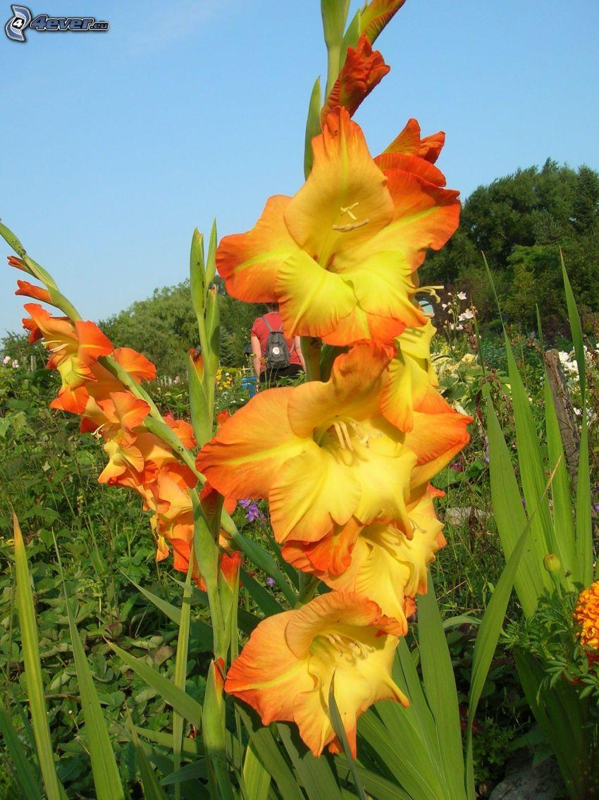 gladiolo, flores amarillas, flores de campo