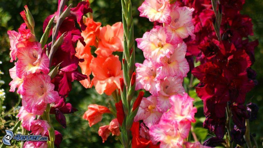gladiolo, flores de colores