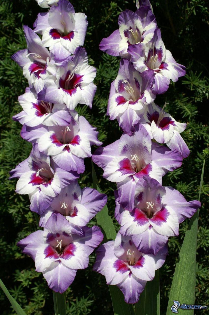 gladiolo, flores de coolor violeta