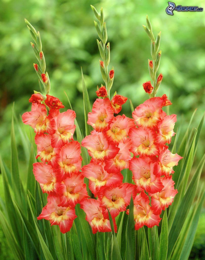 gladiolo, flores rojas, hierba