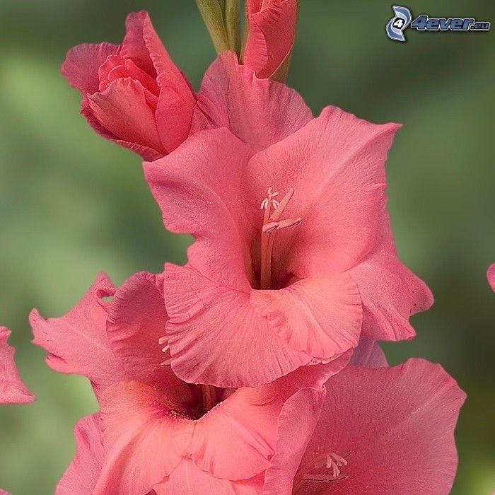 gladiolo, flores rojas