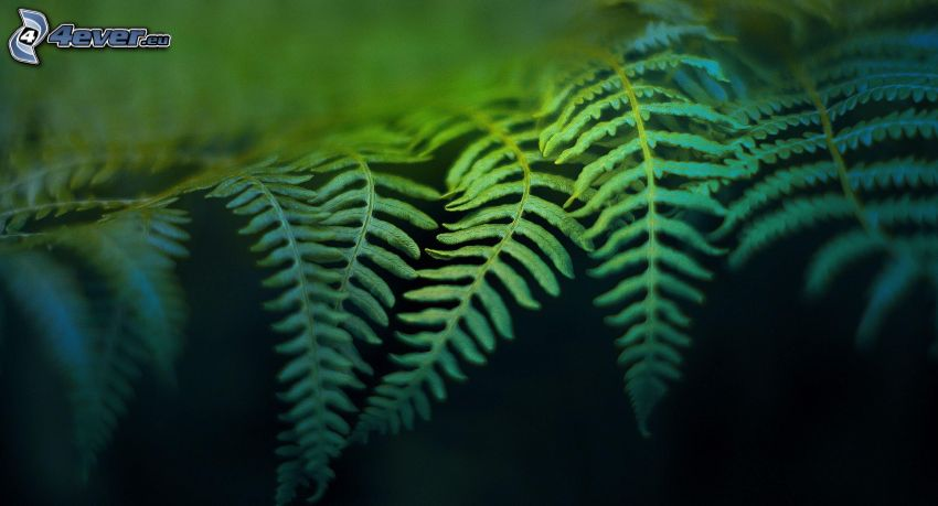 helechos, hojas