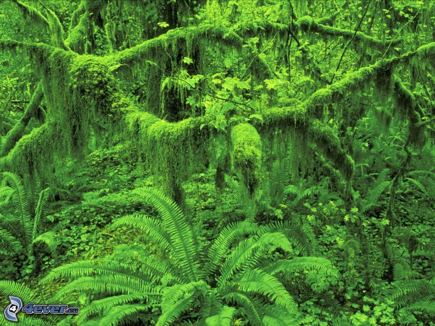 helechos, verde, selva
