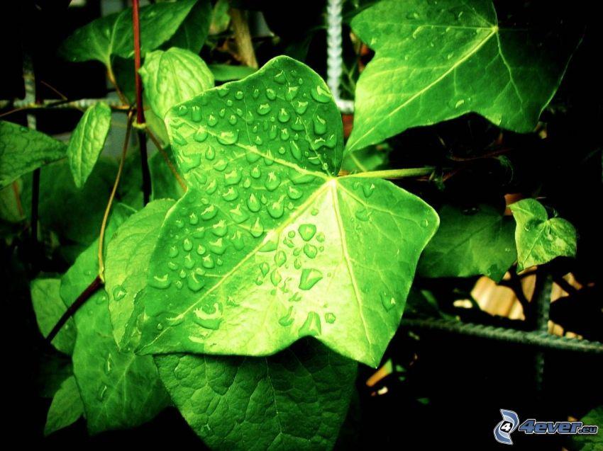hiedra, hojas cubiertas de rocío