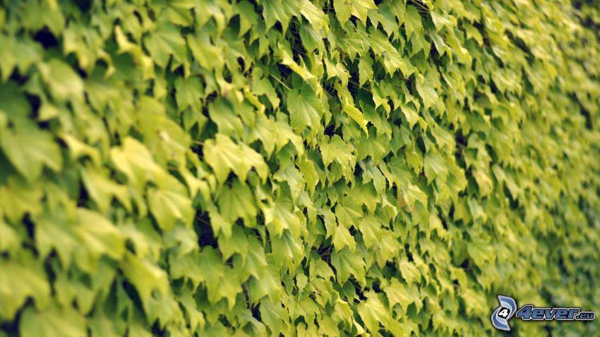 hiedra, hojas verdes