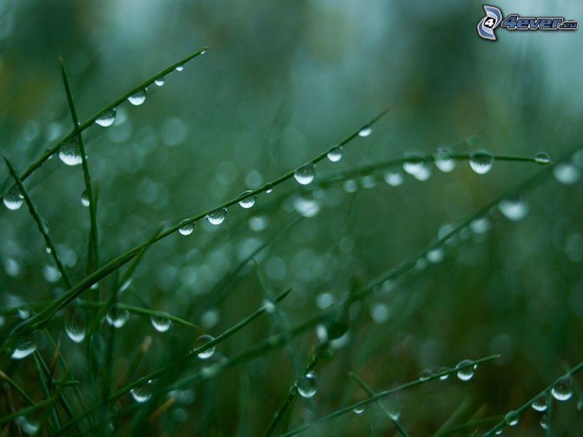 hierba, rocío, gotas de agua