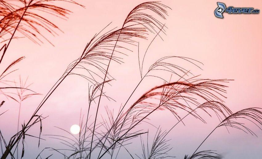 hierba alta, puesta del sol