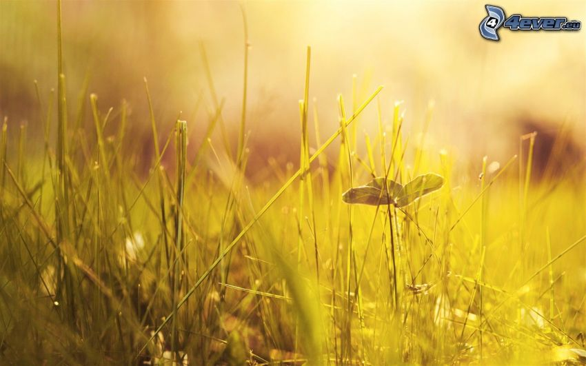 hierba amarilla