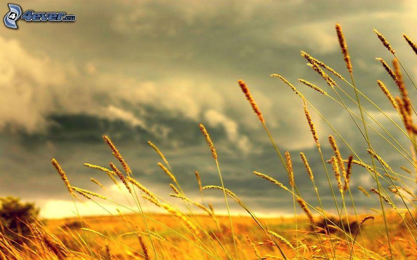 hierba seca, campo