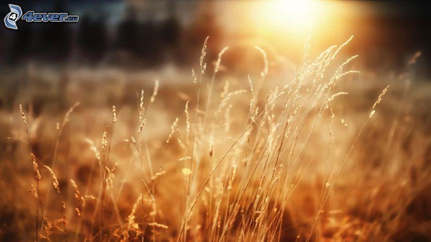 hierba seca, paja de hierba