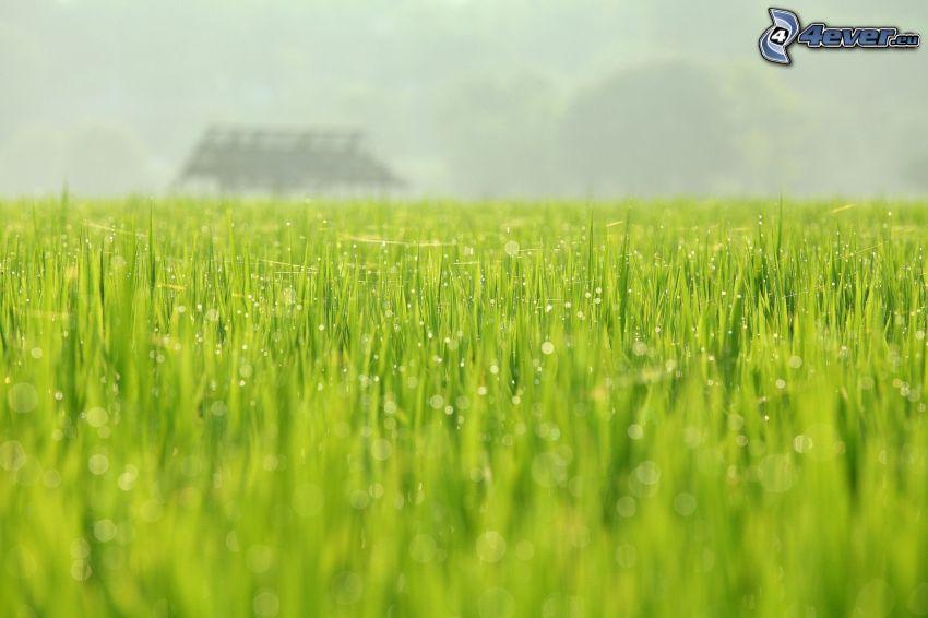 hierba verde, gotas de agua