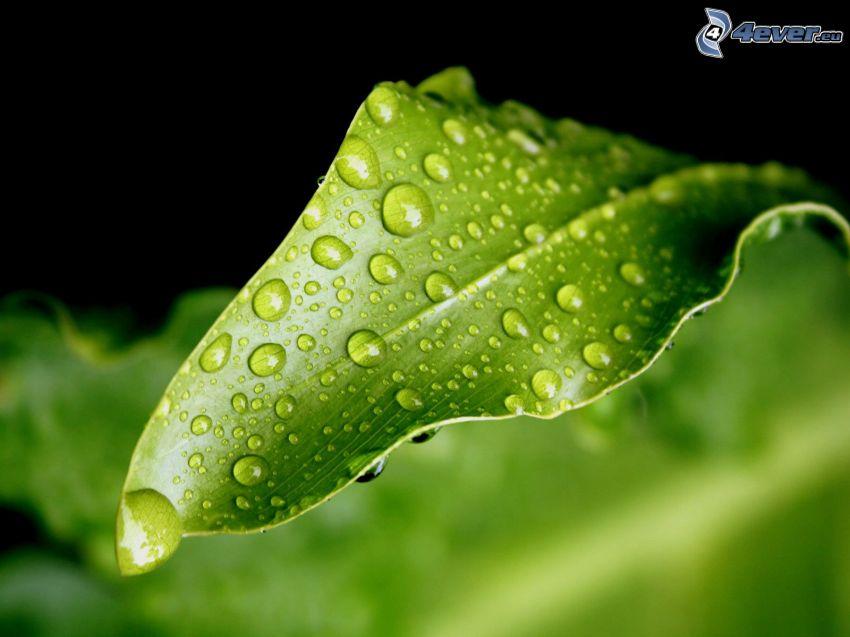 hoja nebulizada, gotas, verde