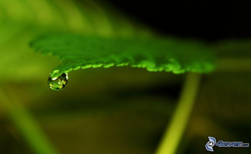 hoja verde, gota de agua