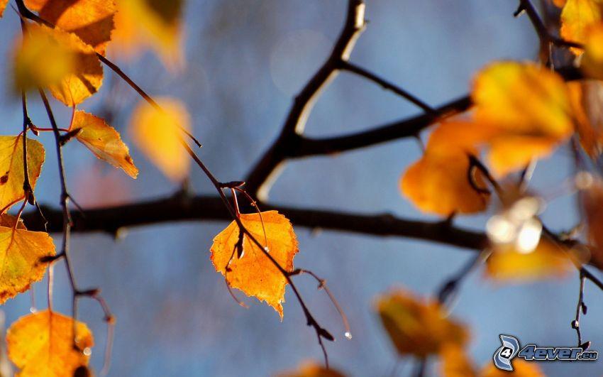 hojas amarillas, ramas