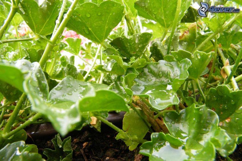 hojas cubiertas de rocío, geranium, rocío, gotas
