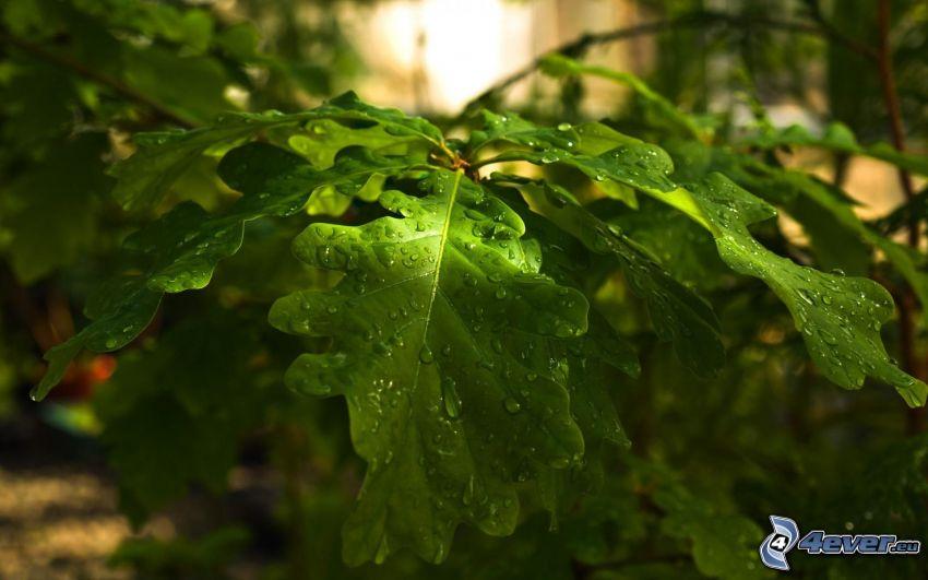 hojas cubiertas de rocío