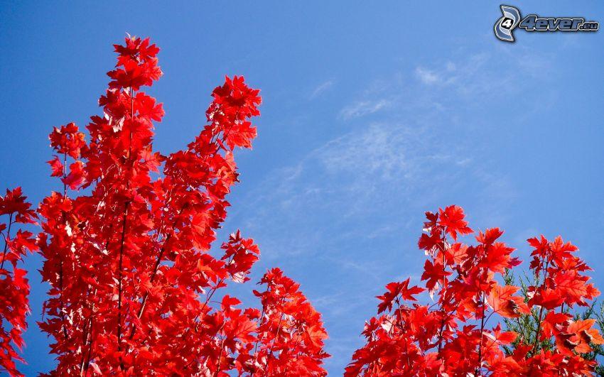 hojas rojas, árbol