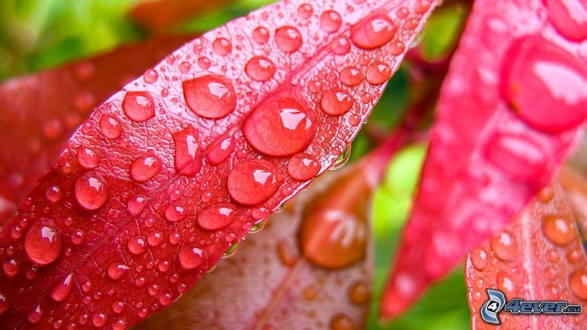 hojas rojas, rocío en una hoja