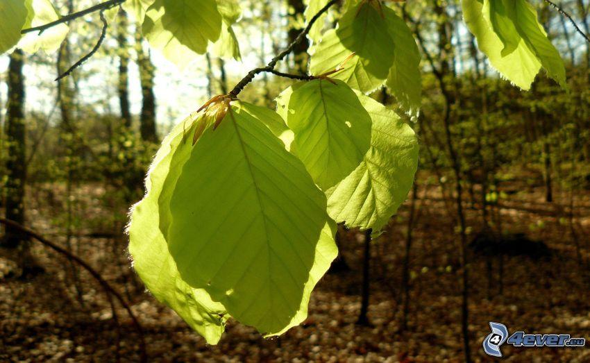 hojas verdes, ramita