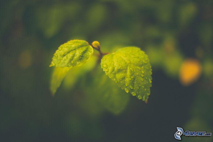 hojas verdes, rocío