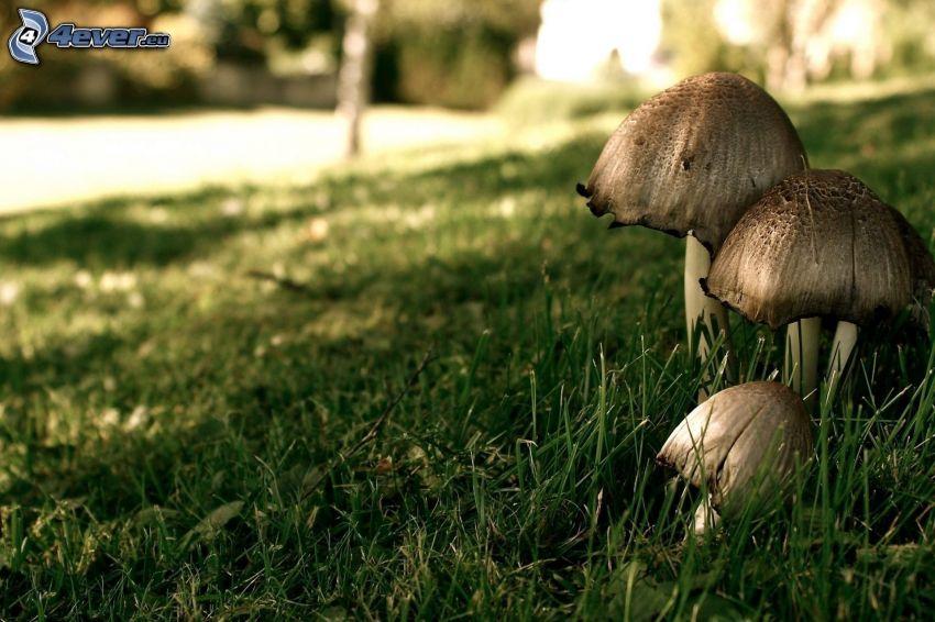 hongos, hierba